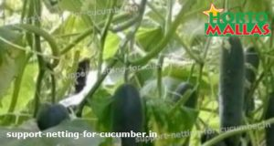 cucumber plants in cropfield