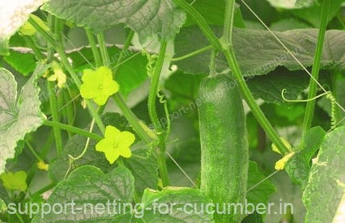 Cucumber receive higher benefits from being tutored by HORTOMALLAS support net