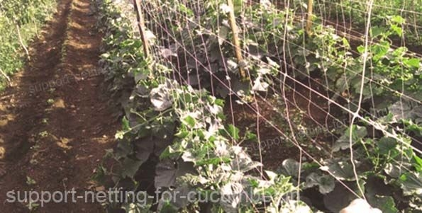 Cucumber crop with support netting HORTOMALLAS