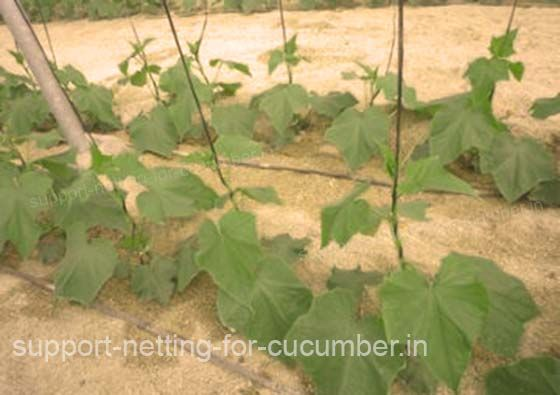 Cucumber's plant growing with a support netting